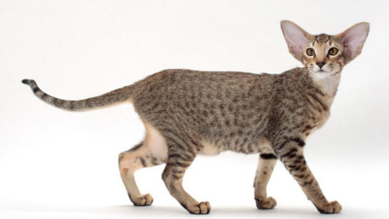 oriental-top-10-best-selling-cat-breeds-in-america