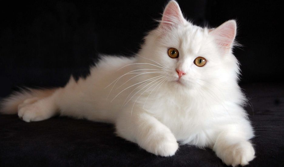 persian-cat-top-most-famous-expensive-cat-breeds-in-the-world-2019