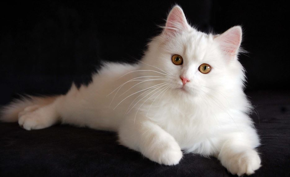 persian-cat-top-popular-bizarre-cat-breeds-2019