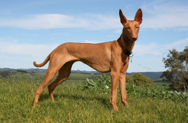 Pharaoh Hound Top 10 Most Expensive Dog Breeds