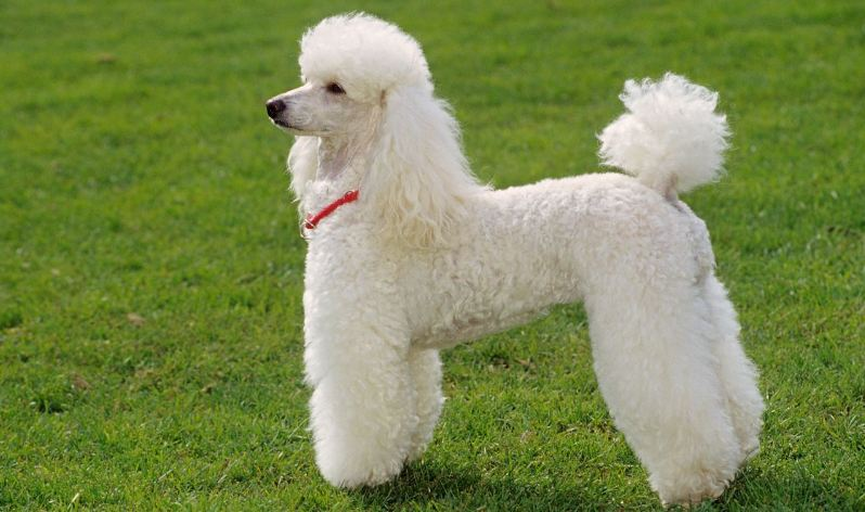 poodle, Top 10 Best Dog Breeds to Join Your Family 2018