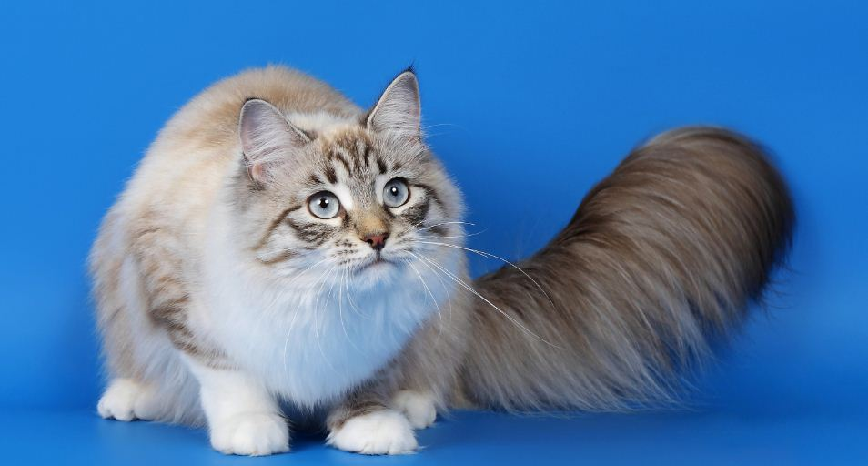 ragamuffin-top-ten-largest-cat-breeds-in-the-world