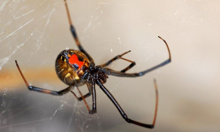 Red-Legged Widow Spider, Top 10 Most Dangerous Spiders in The World 2019