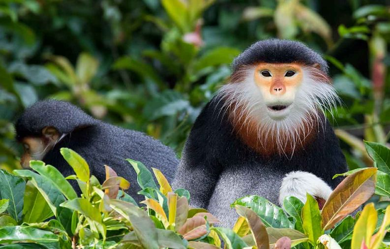 red shanked douc, Top 10 Most Amazing Monkeys Breeds in The World