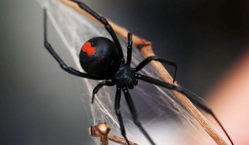 redback-spider-top-most-popular-dangerous-spiders-in-the-world-2018