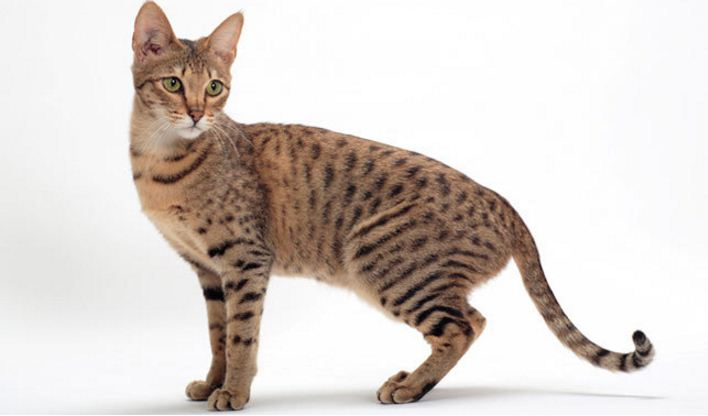 savannah, Top 10 Largest Cat Breeds in The World 2017