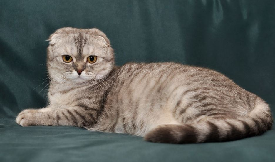 Scottish Fold Top 10 Most Bizarre Cat Breeds