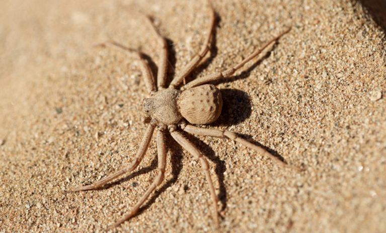 six-eyed-sand-spider-top-10-dangerous-spiders-in-the-world