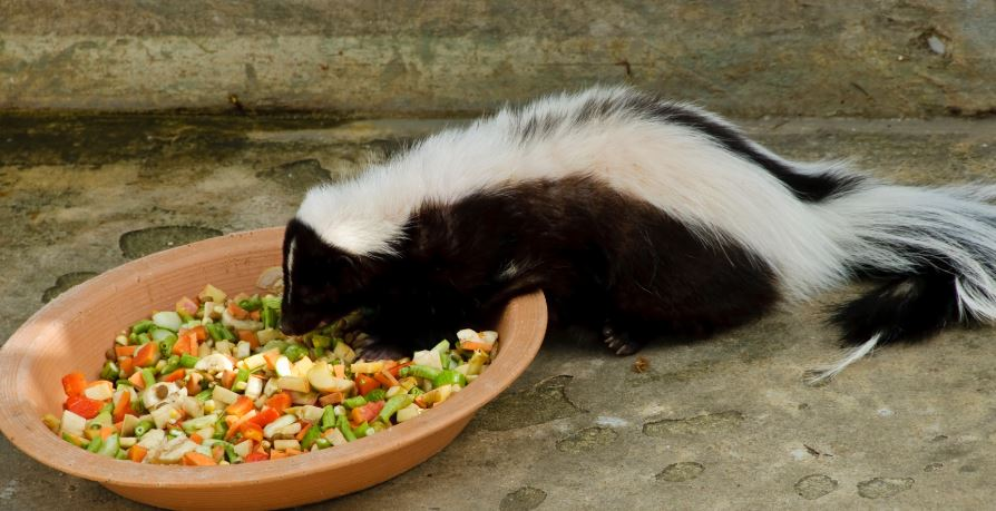 Skunk Top Popular Selling Exotic Pets in The World 2019
