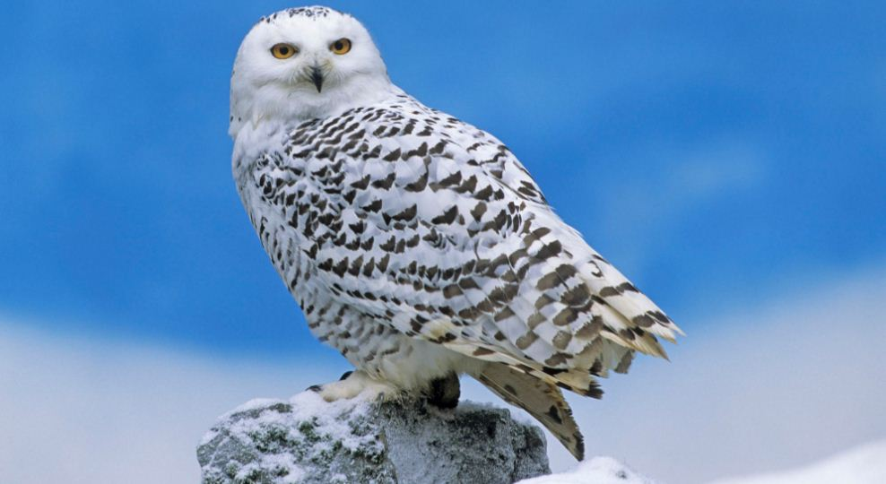 snowy owl, Top 10 Most Dangerous Birds in The World 2017