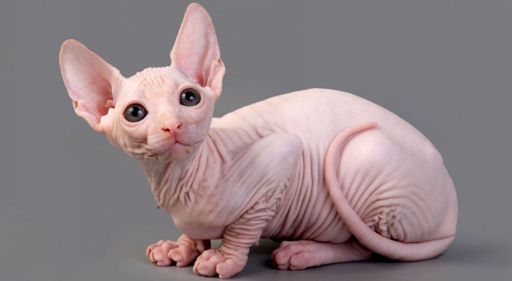 sphynx, Top 10 Most Expensive Cat Breeds in The World