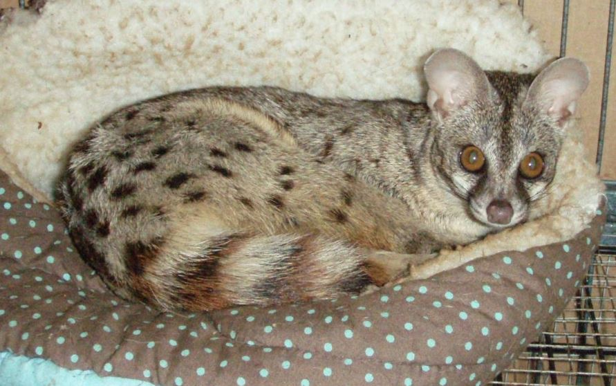 spotted-genet-top-10-best-selling-exotic-pets-in-the-world