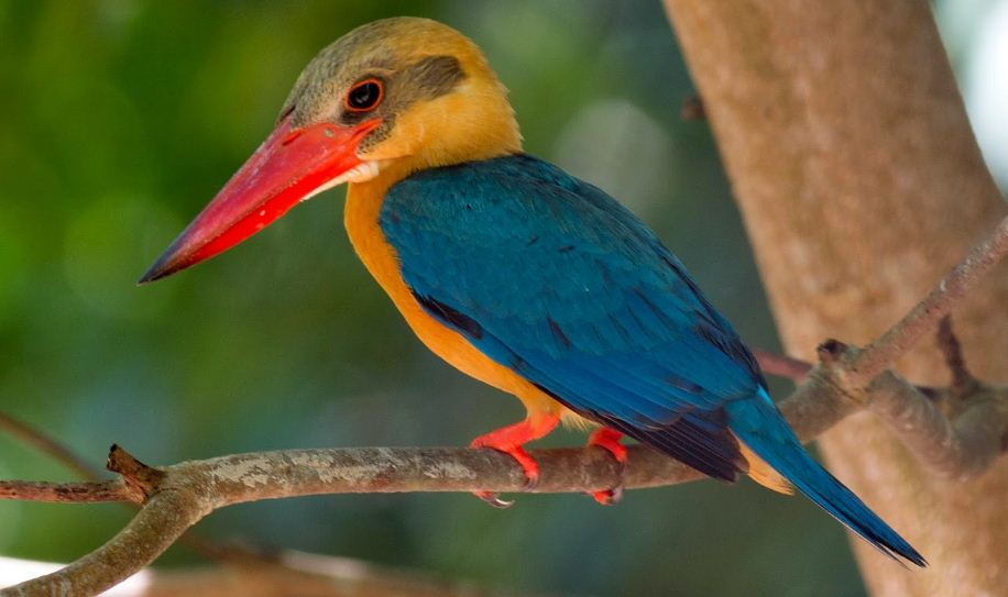 stork billed kingfisher, Top 10 Most Beautiful Birds in The World 2017