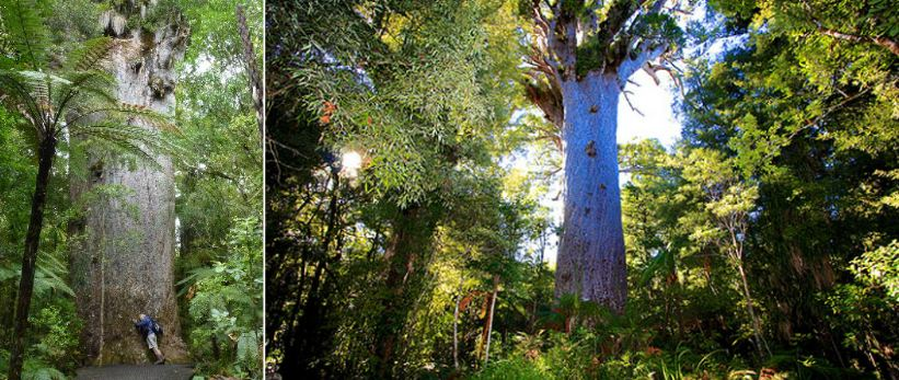 tane-mahuta-top-10-largest-and-biggest-trees-of-the-planet-earth-2017