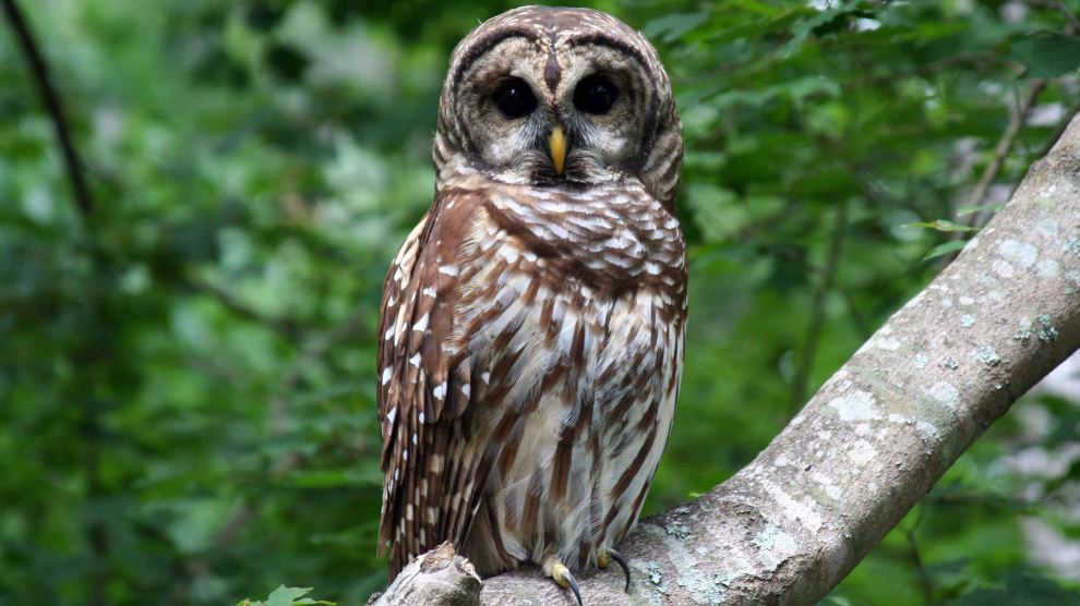 the-barred-owl