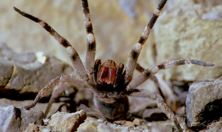the-brazilian-wandering-spider