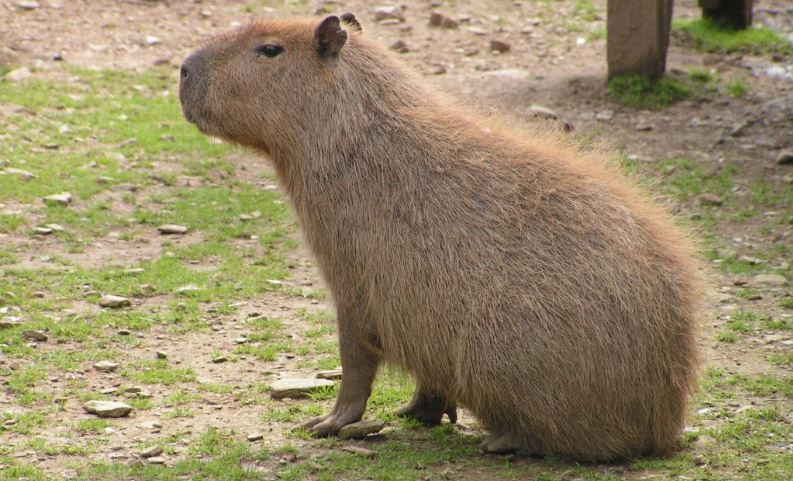 the capybara, Top 10 Biggest Animals in The World 2017