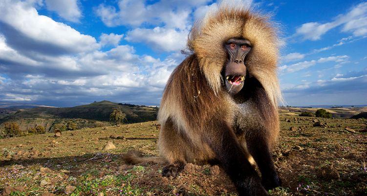 the-gelada-monkeys