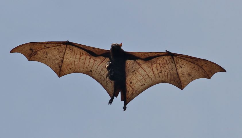 the-giant-golden-crowned-flying-fox