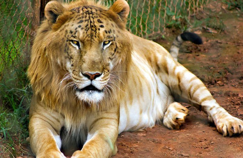 tigon, Top 10 Most Amazing Animals Cross-Breeds in The World 2019