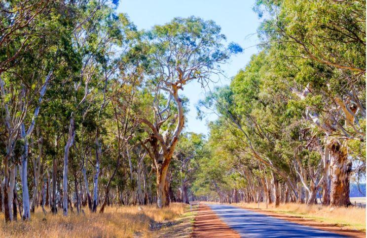transgenic-eucalyptus