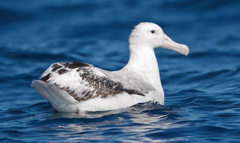 wandering albatross, Top 10 Largest And Heaviest Living Birds in The World 2017