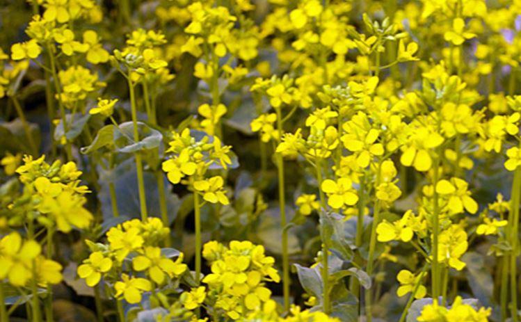wisconsin-fast-plants