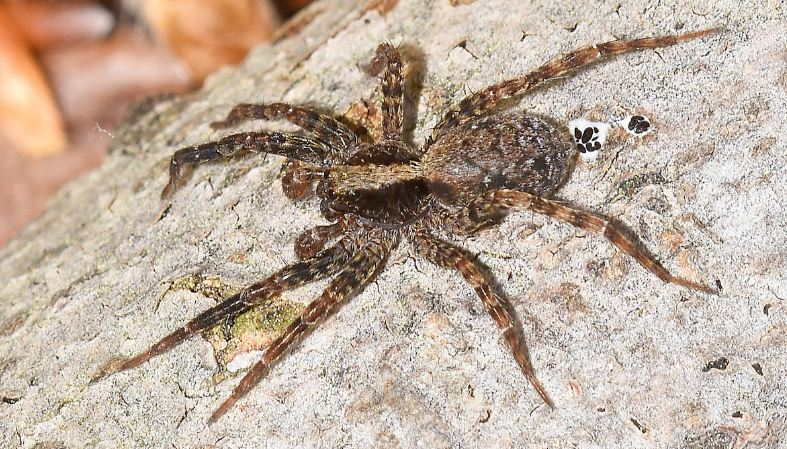 wolf spider, Top 10 Most Dangerous Spiders in The World 2017