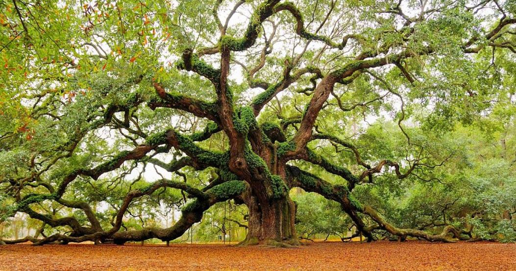 angel-oak-top-10-wonderful-trees-in-the-world-2017