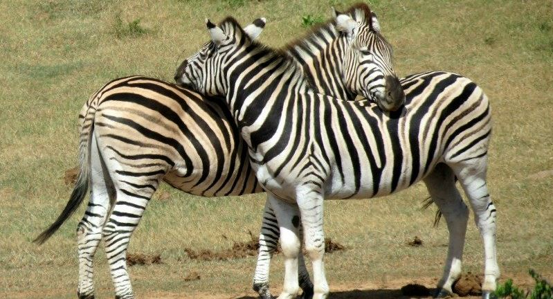 behavioural-changes-zebras-top-10-most-amazing-facts-about-animal-intelligence-2017