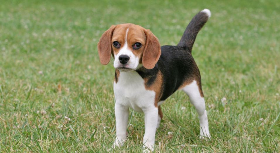 Best selling dog breeds in the world 2017 top 10 list us87 for Cutest house in the world