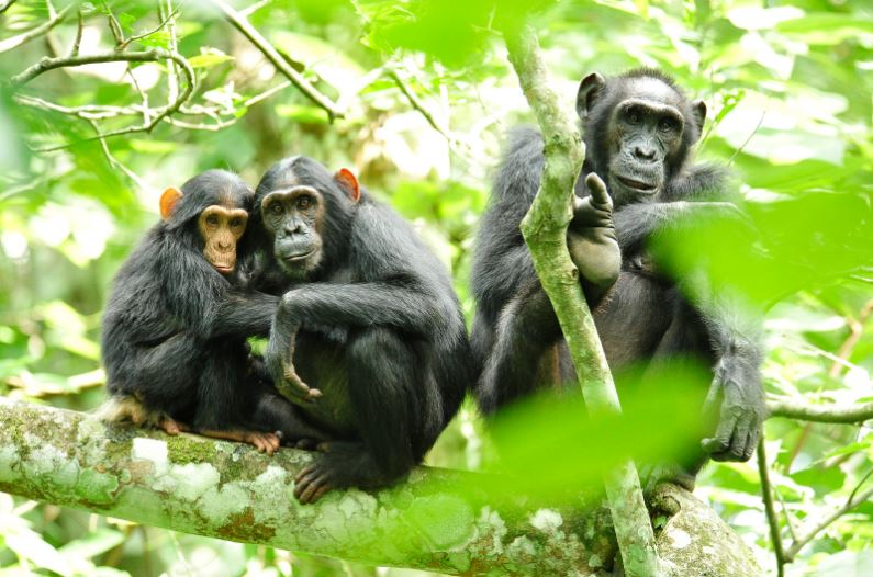 chimpanzees-top-most-expensive-pets