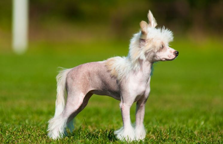 Chinese Crested Dog Top Most Famous Ugliest Animals on The Planet Earth 2018