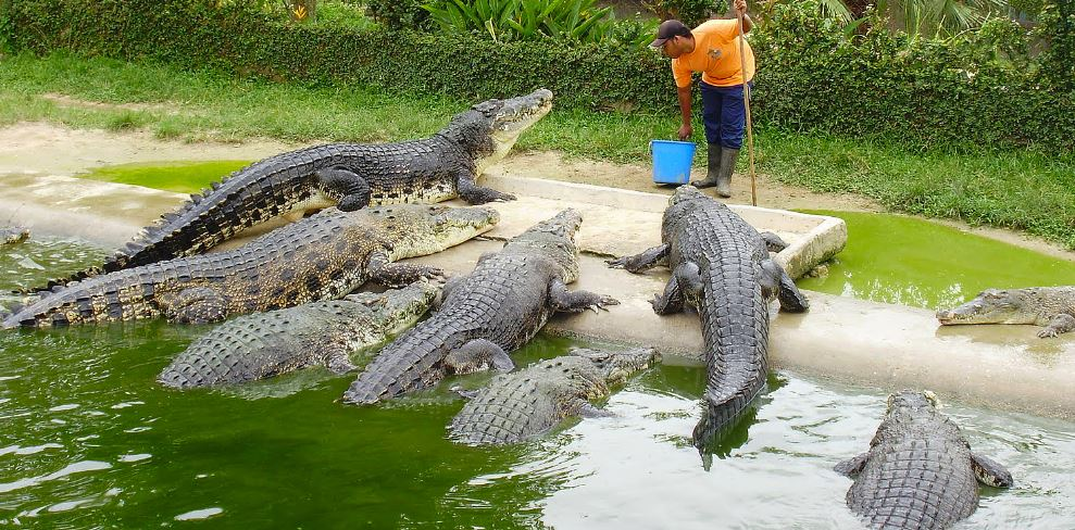 crocodile-top-popular-deadliest-animals-around-the-world-2017