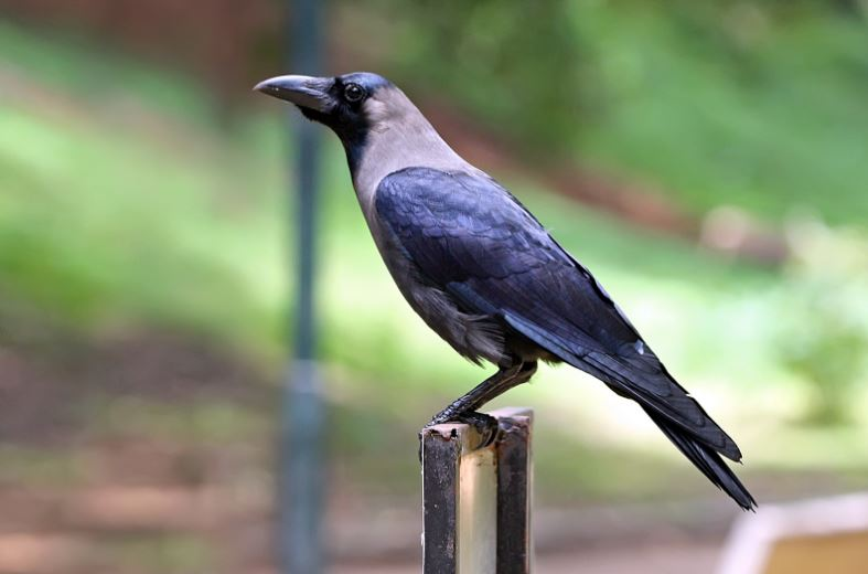 crow-top-most-intelligent-animals-in-the-world-2017