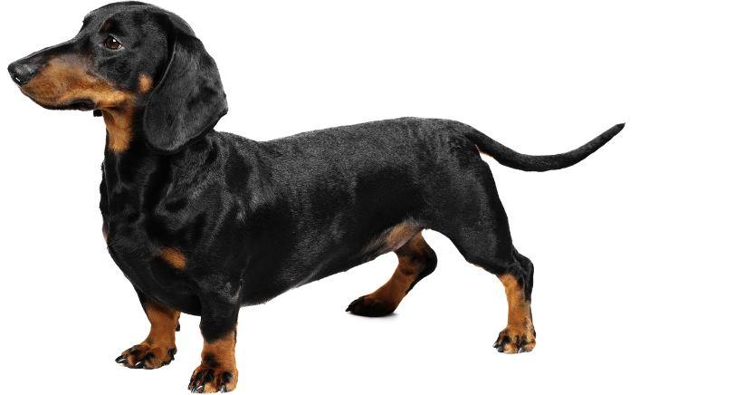 daschund, Top 10 Best Selling Dog Breeds In The World 2017