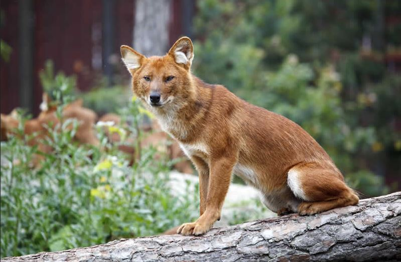 dhole, Top 10 Strange Animals In The World 2018