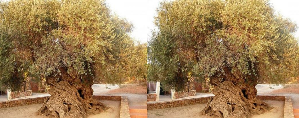 elia-bouybon-olive-tree-vouves-top-most-popular-wonderful-trees-in-the-world-2018