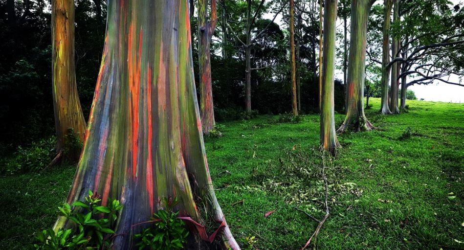 eucalyptus deglupta, Top 10 Wonderful Trees in The World 2018