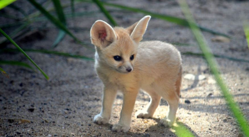 fennec-fox-top-popular-smallest-living-animals-2017