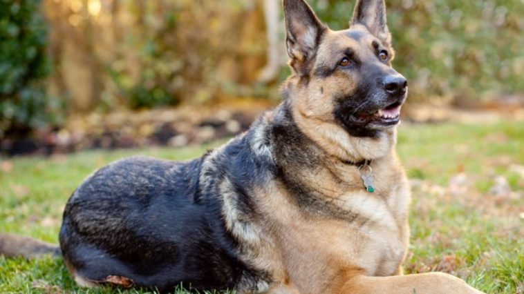 german-shepherd-alsatian