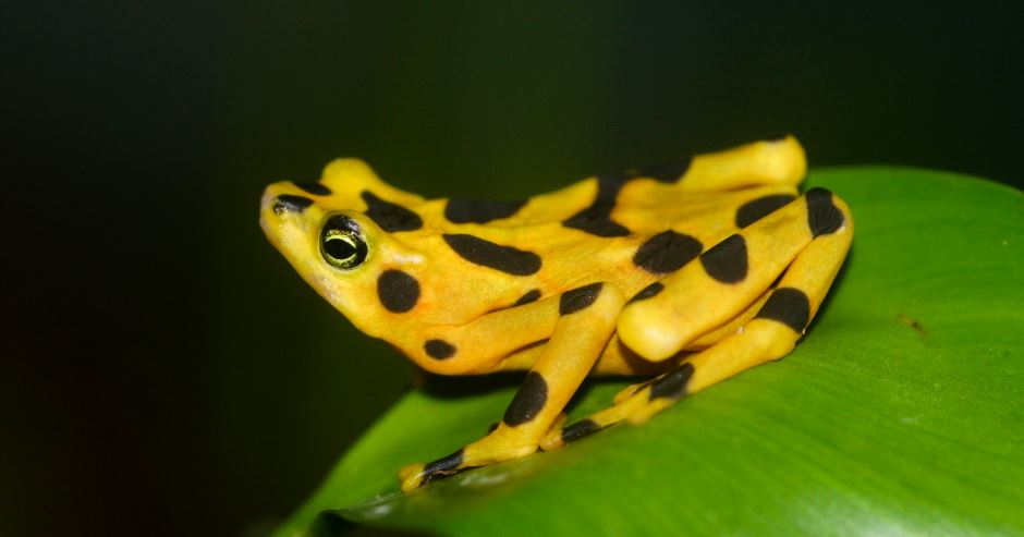 golden frog, Top 10 Smallest Living Animals in The World 2018