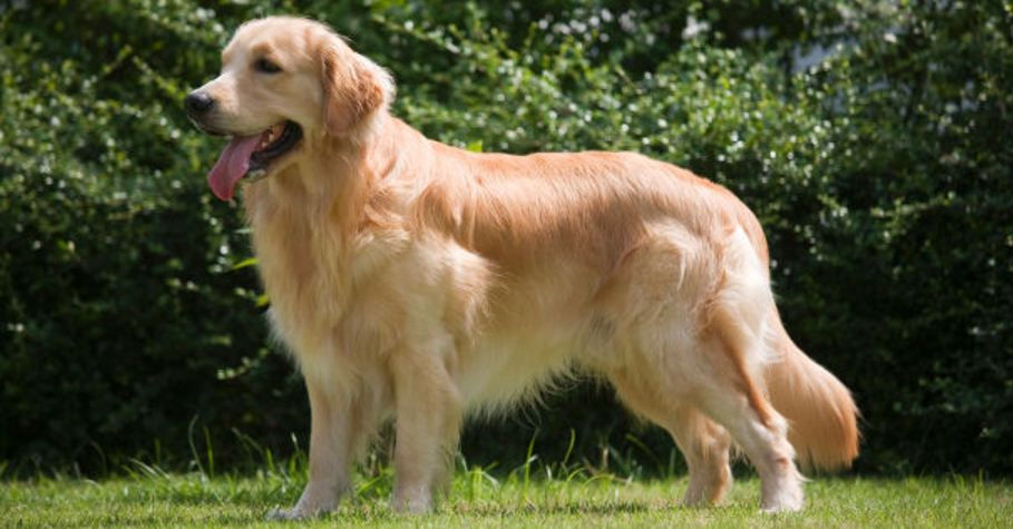 golden-retriever-most-famous-dog-breeds-in-the-world-in-2017