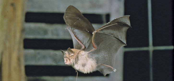 horseshoe-bat-top-most-popular-ugliest-animals-on-the-planet-earth-2018