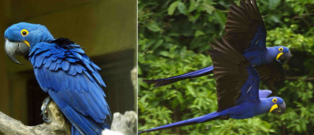 hyacinth macaw, Top 10 Most Expensive Pets in The World 2017