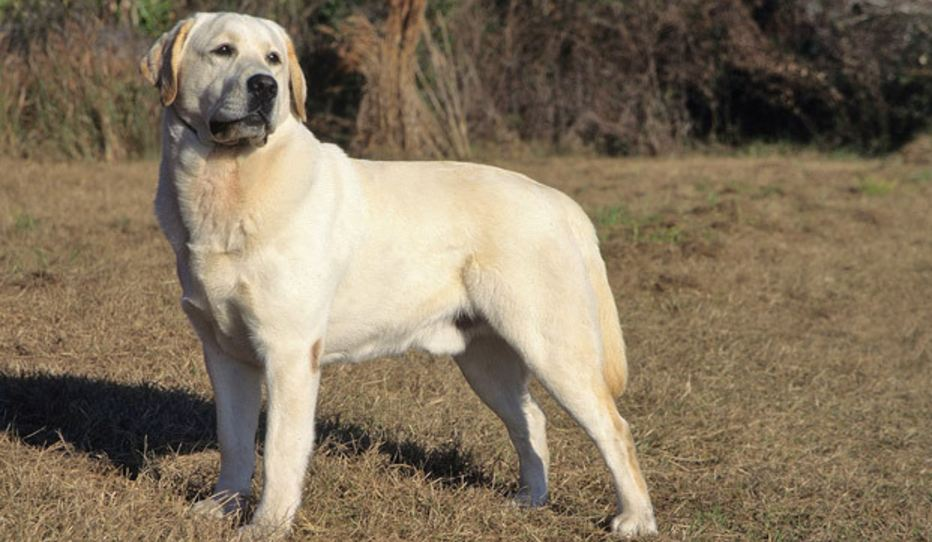 labrador-retriever-top-famous-selling-dog-breeds-in-the-world-in-2017-2018