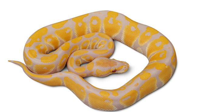 lavender-albino-ball-python-top-most-popular-expensive-pets-2018