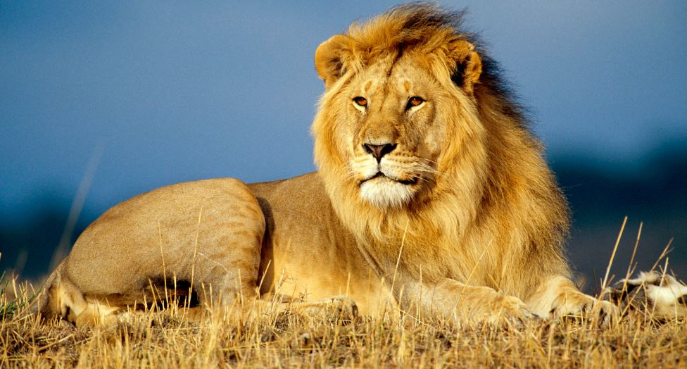 lion-top-most-famous-deadliest-animals-around-the-world-2019