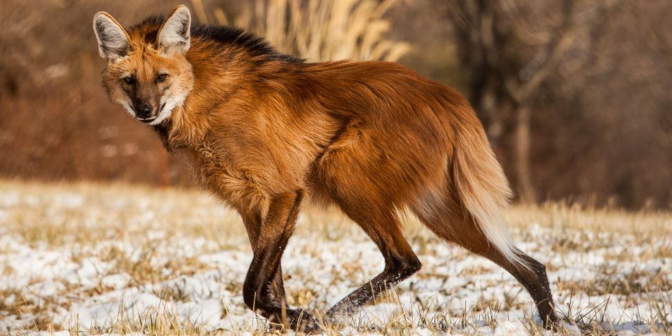 maned-wolf