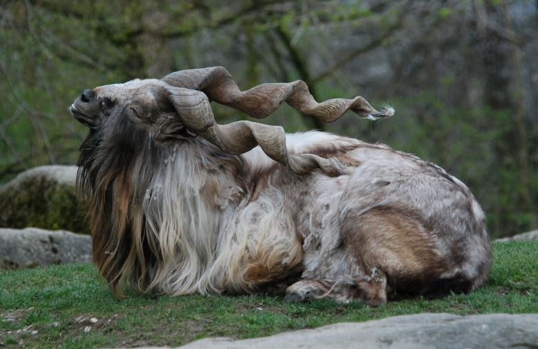 markhor-top-famous-strange-animals-in-the-world-2018